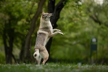 Wolfdog vs Bubbles 4