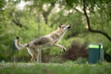 Wolfdog vs Bubbles 7
