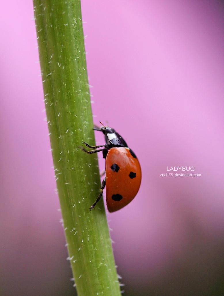 ladybug II by zach79