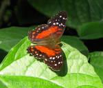 Anartia amathea butterfly