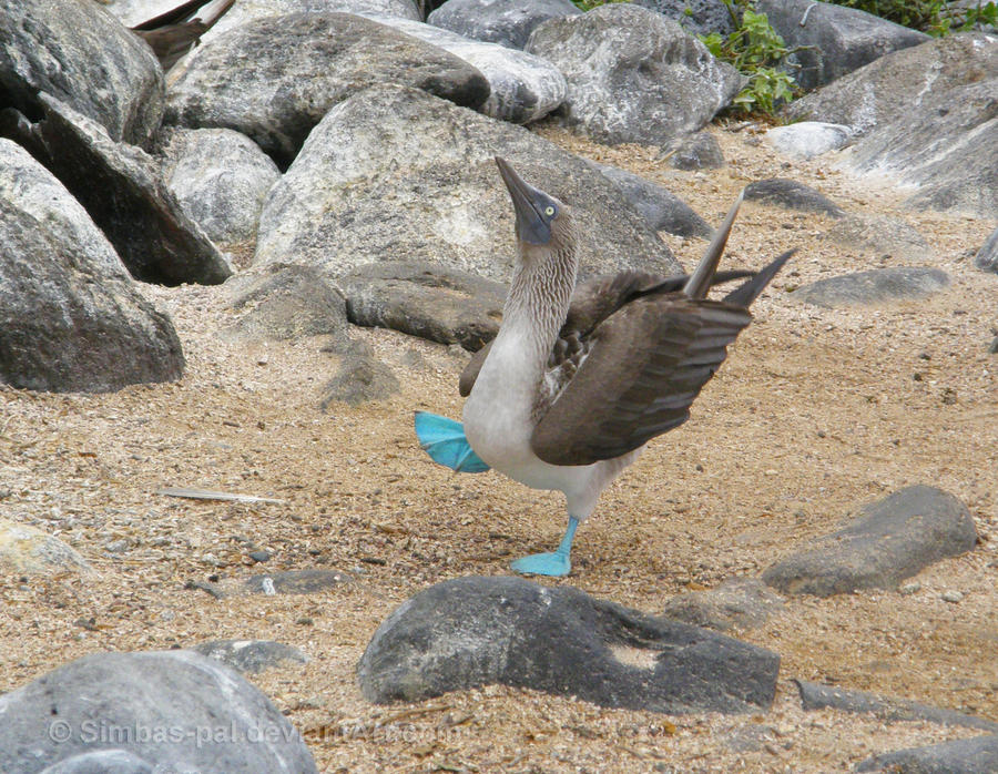 Sky-pointing blue-footed booby by Simbas-pal