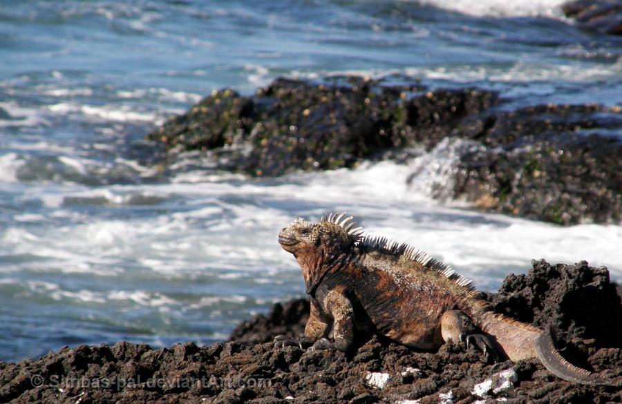Marine Iguana by Simbas-pal