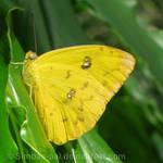 Phoebis sennae, ventral