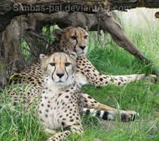 Cheetahs at Rest by Simbas-pal