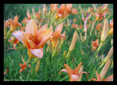 The Lilies of the Day
