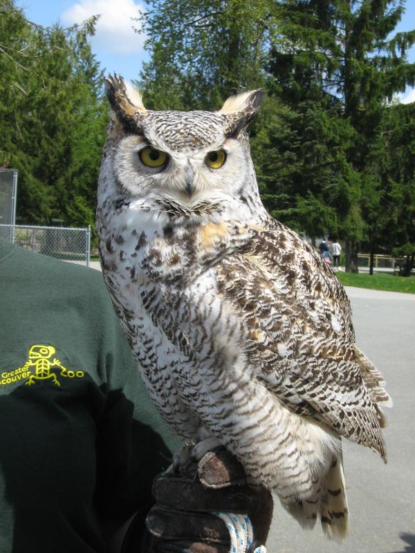 Horned owl 2 by gurukitty