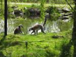 Ring tail Lemurs by gurukitty