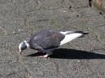 pigeon 4 by gurukitty