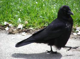 raven 1 by gurukitty