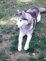 My Wolf by airquake