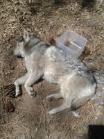 My Wolf Looks Deaded by airquake