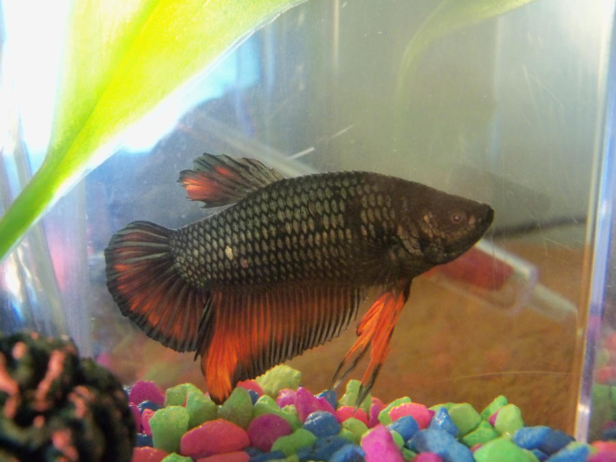 Titan male round tail dragon scale betta by equus1016 on for Dragon scale betta fish