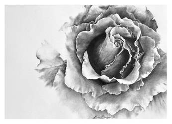 Rose by JustLikeThatxD