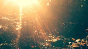 Sunbeams in the wood