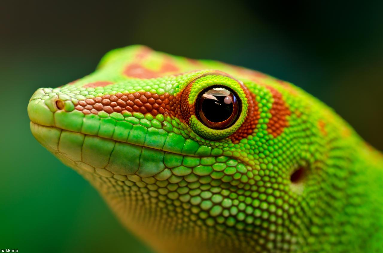 Day Gecko by nakkimo