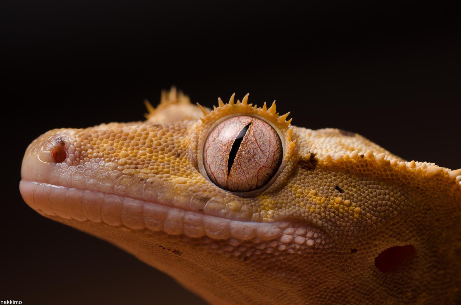 Crested Gecko Female by nakkimo