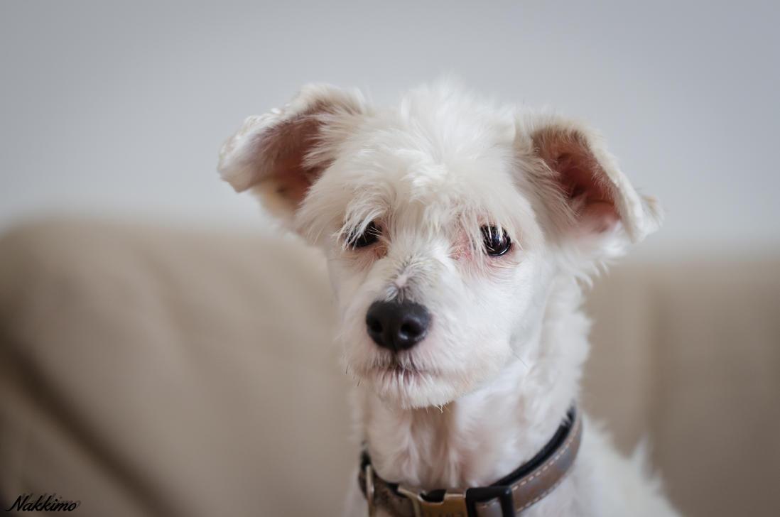 Chinese crested dog (powderpuff) by nakkimo