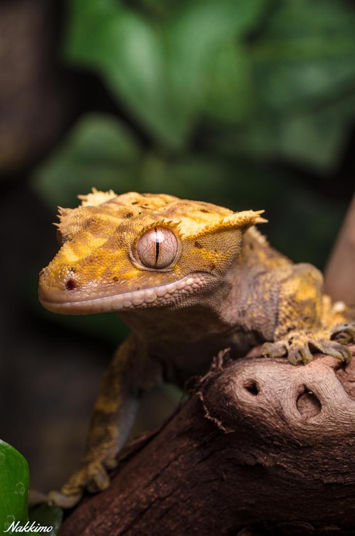 Rhacodactylus ciliatus by nakkimo