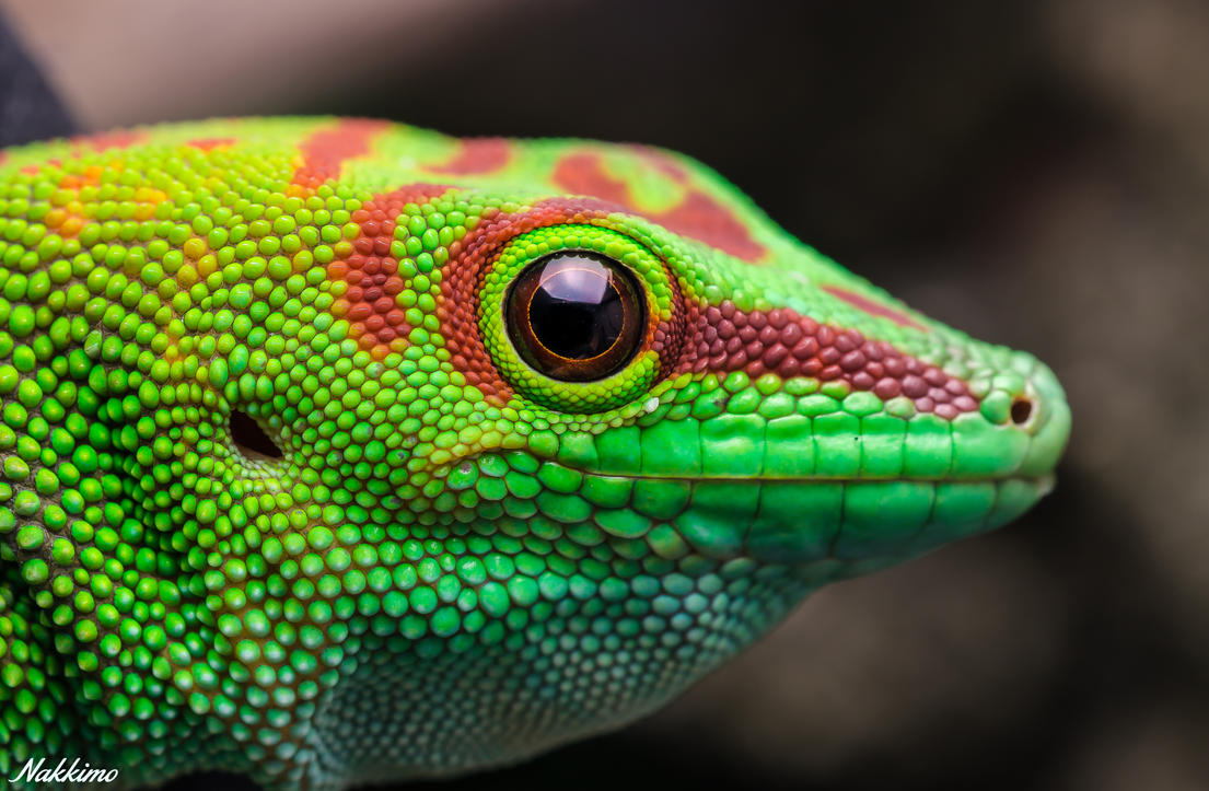 Madagascar Giant Day Gecko by nakkimo