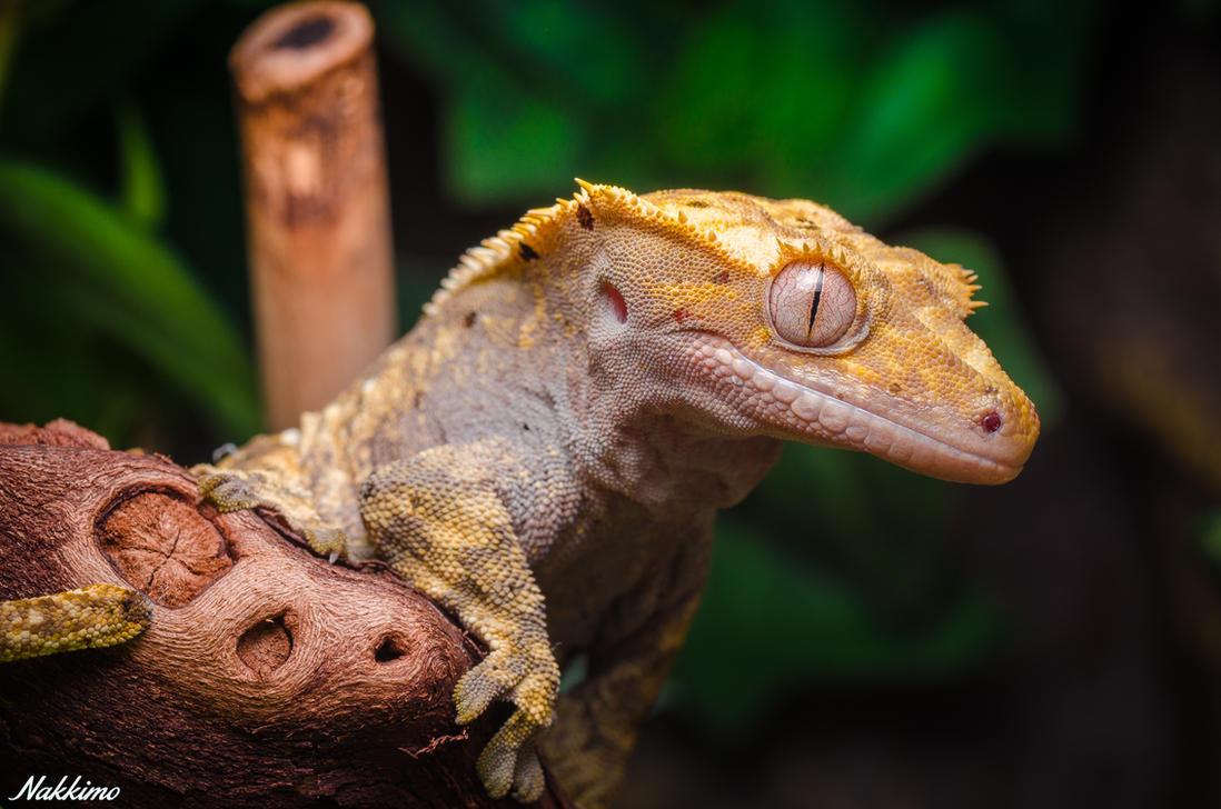 Crested gecko by nakkimo