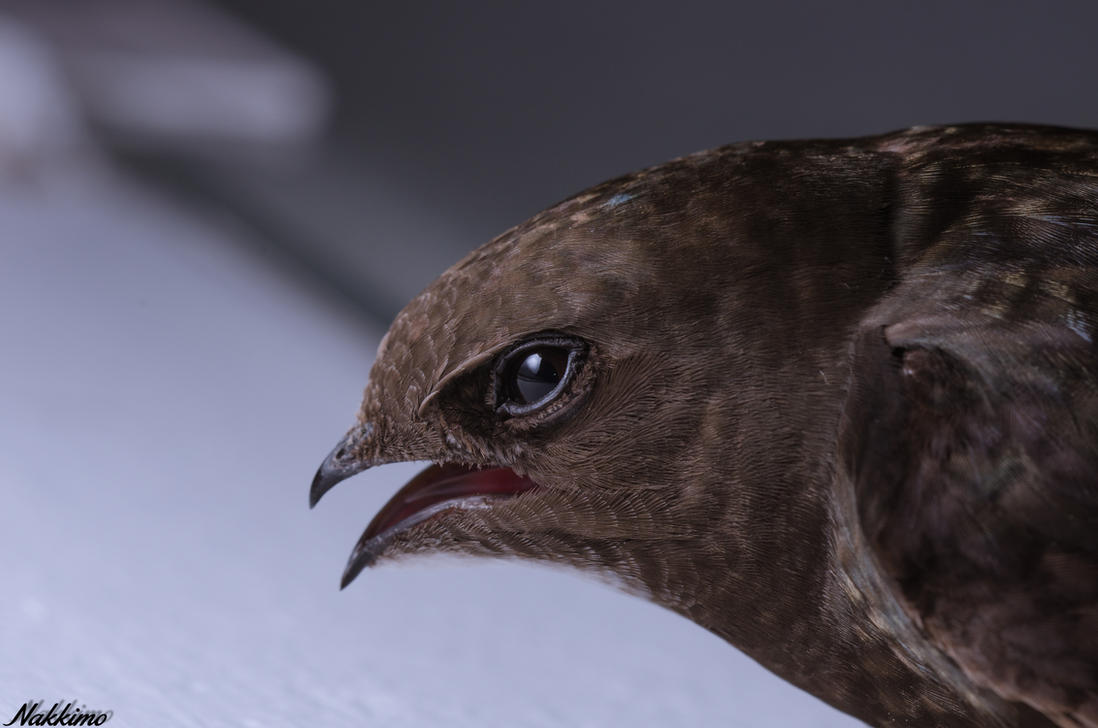 Common Swift by nakkimo