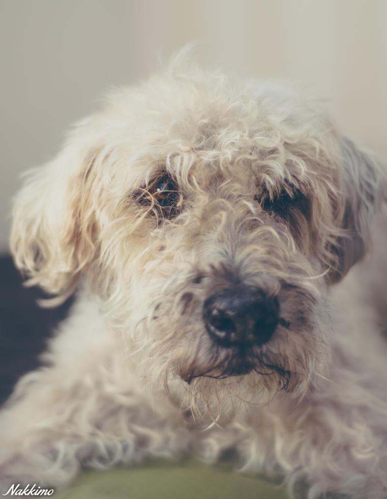 Soft Coated Wheaten Terrier by nakkimo