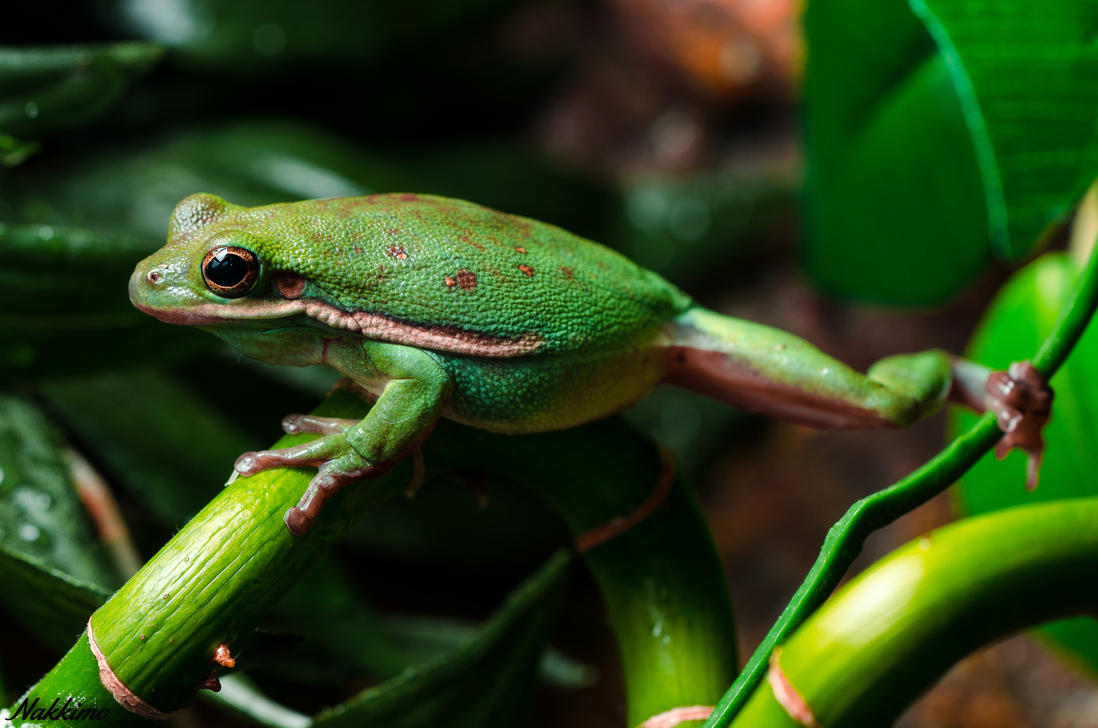 American green tree frog by nakkimo