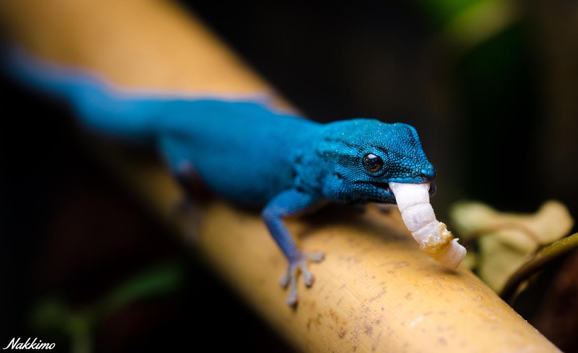 Electric Blue Gecko by nakkimo