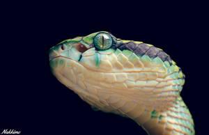 Sri Lankan Pit Viper by nakkimo