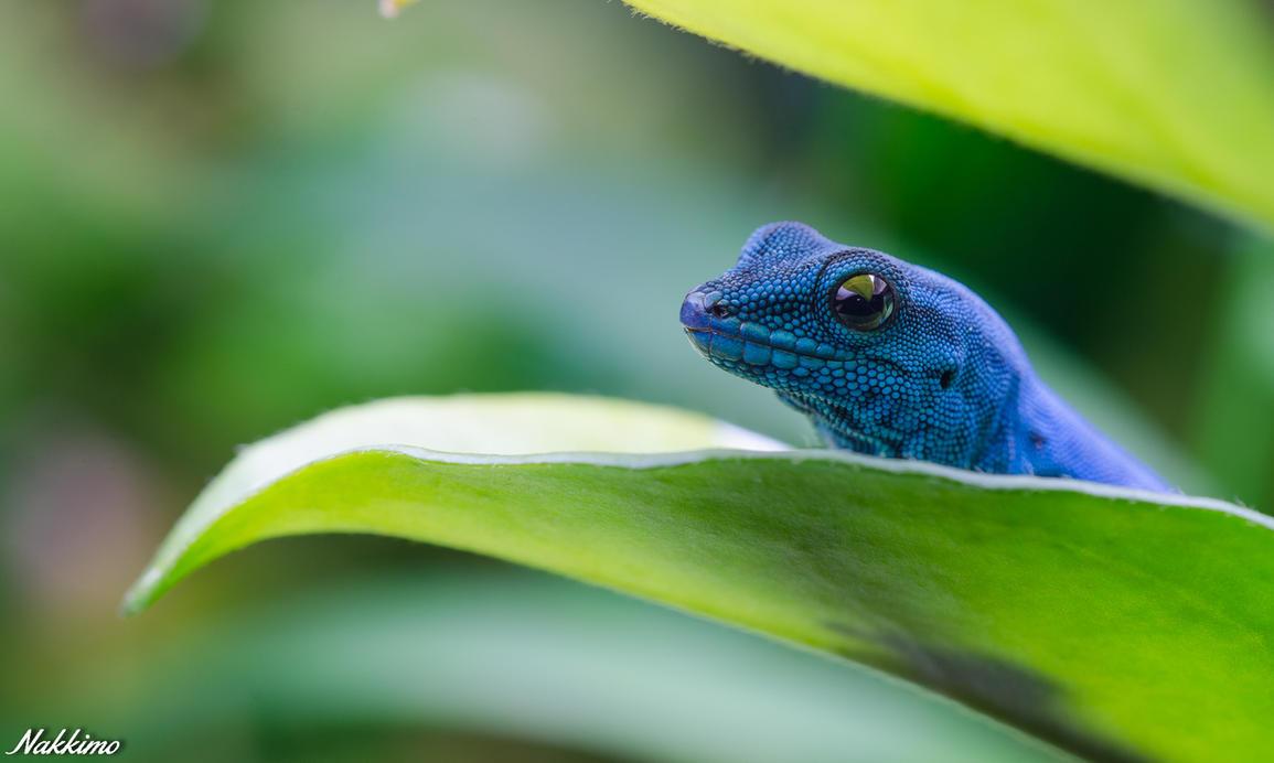 Lygodactylus williamsi by nakkimo