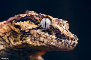 Rhacodactylus auriculatus by nakkimo