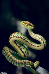 Trimeresurus venustus by nakkimo