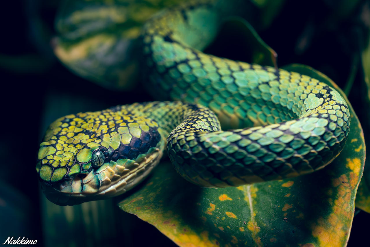 Sri Lankan Pit Viper By Nakkimo On Deviantart