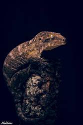Rhacodactylus leachianus