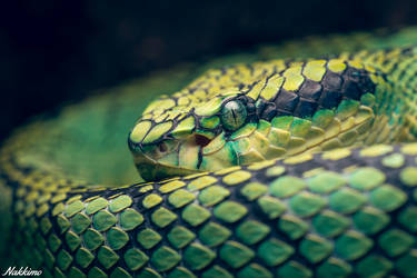 Sri Lankan pit viper