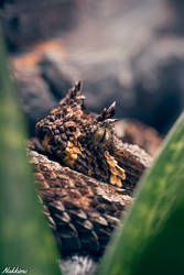 Many-horned adder