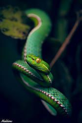 Vogel's pit viper