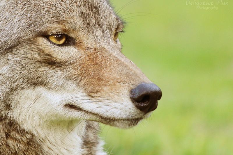 Coyote Portrait by Deliquesce-Flux