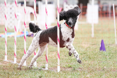 Santa Barbara Agility Club 5 by Deliquesce-Flux