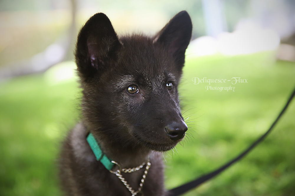 Wolfdog Pup by Deliquesce-Flux