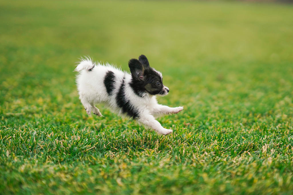 Frolicking Papillon Puppy by Deliquesce-Flux