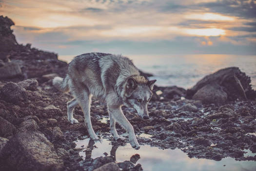 Nova the Wolf II