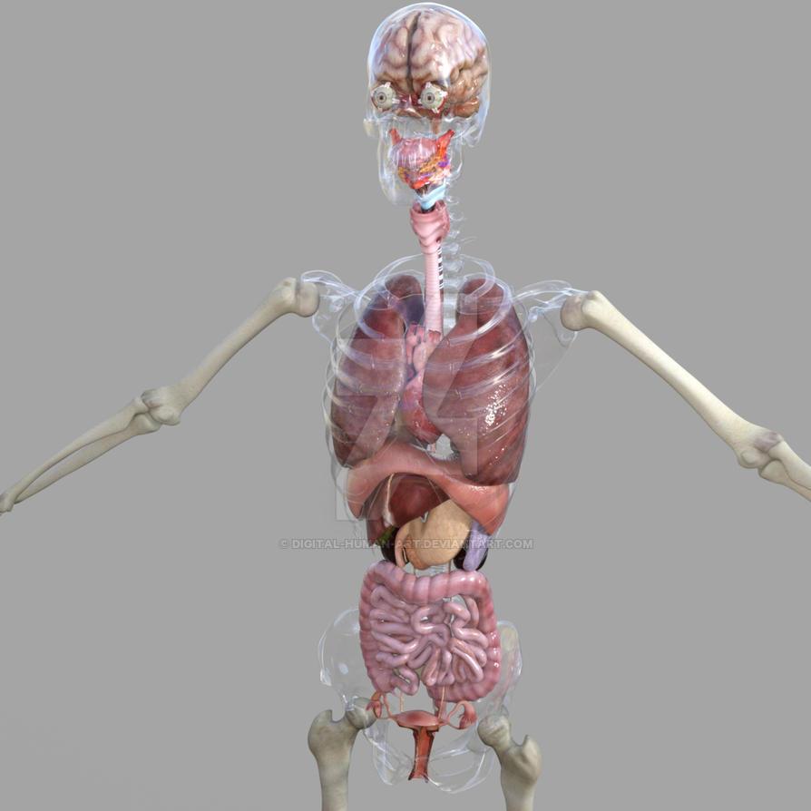 Female Anatomy Model By Digital Human Art On Deviantart