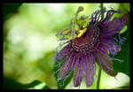 Passion Flower by Flame-of-the-Phoenix