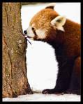Red Panda: Tasty