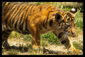 Baby Tiger: Stalk by Flame-of-the-Phoenix