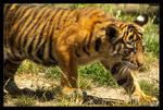 Baby Tiger: Stalk