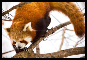 Red Panda: Climber by Flame-of-the-Phoenix