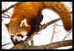 Red Panda: Climber