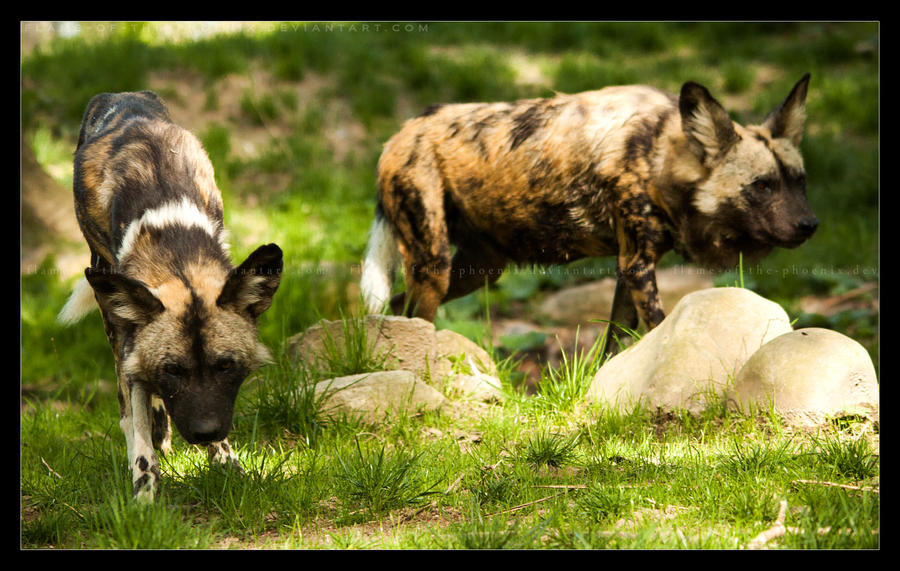 African Wild Dogs: Hunt by Flame-of-the-Phoenix